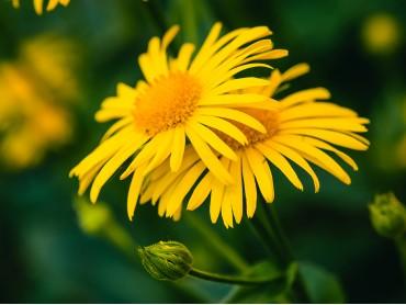 L'Arnica: il fiore giallo del benessere!